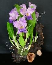 Cattleya #08, 17 x 11 inches, $195