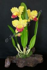 Cattleya #10, 16 x 9 inches, $195