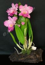 Cattleya #16, 15 x 9 inches, $195