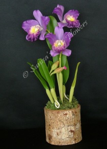 (SOLD OUT) Cattleya #22, 13 x 6 inches, $165