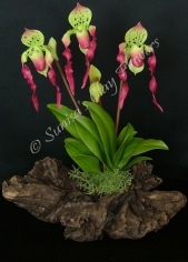 (SOLD OUT) Paphiopedilum Lady Slipper #16, 9 x 8 inches, $55