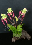 (SOLD OUT) Paphiopedilum Lady Slipper #20, 9 x 8 inches, $55