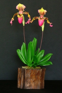 Paph. Lady Slipper #32 $45