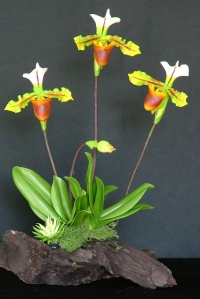 Paph. Lady Slipper #23 $60
