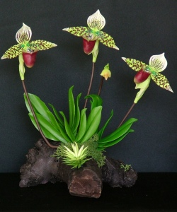 Paph. Lady Slipper #28 $60