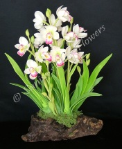 (SOLD OUT) Cymbidium #04, 13 x 11 inches, $145