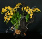 (SOLD OUT) Dendrobium thyrsiflorum #04, 19 x 17 inches $325