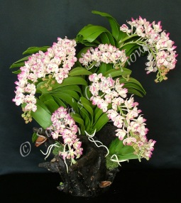 (SOLD OUT) Rhynchostylis Gigatea #01, 20 x 22 inches, $600
